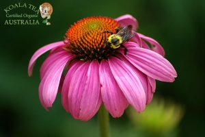 Echinacea - click for a larger image