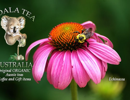 Stay healthy with Echinacea tea